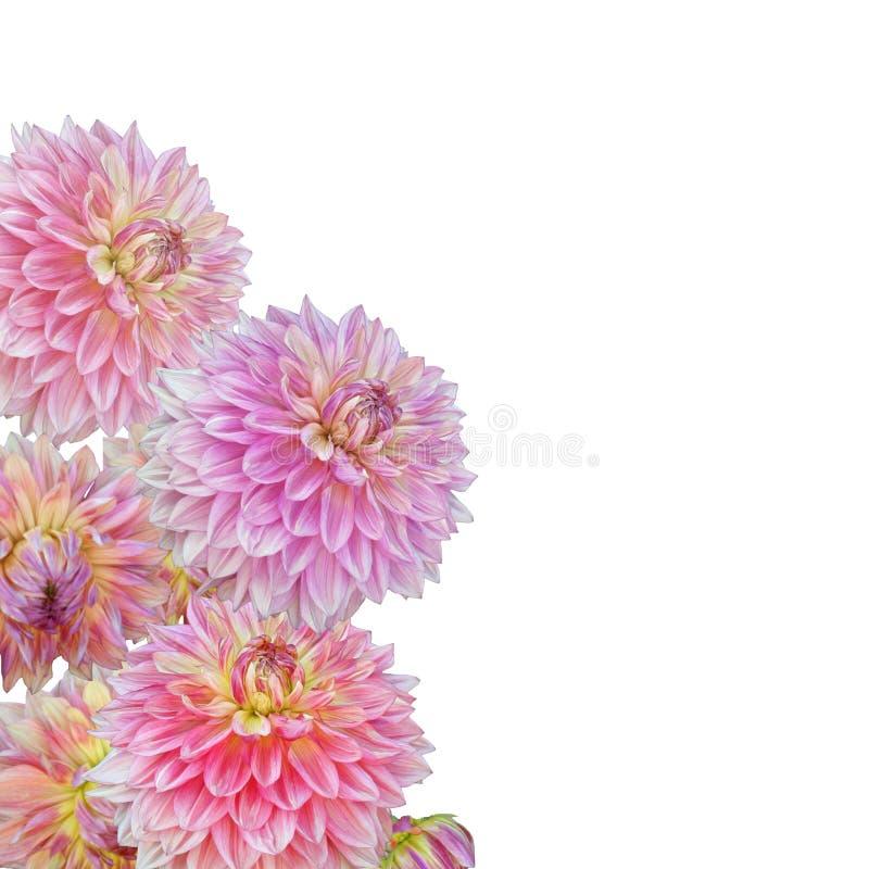 Rosa dahlia royaltyfria bilder