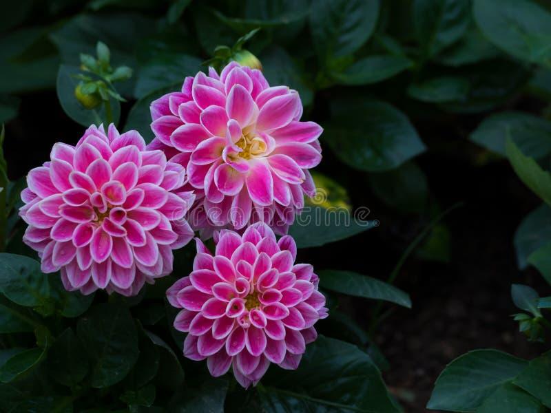 Rosa Dahlia Figaro-Blume im Garten stockbilder