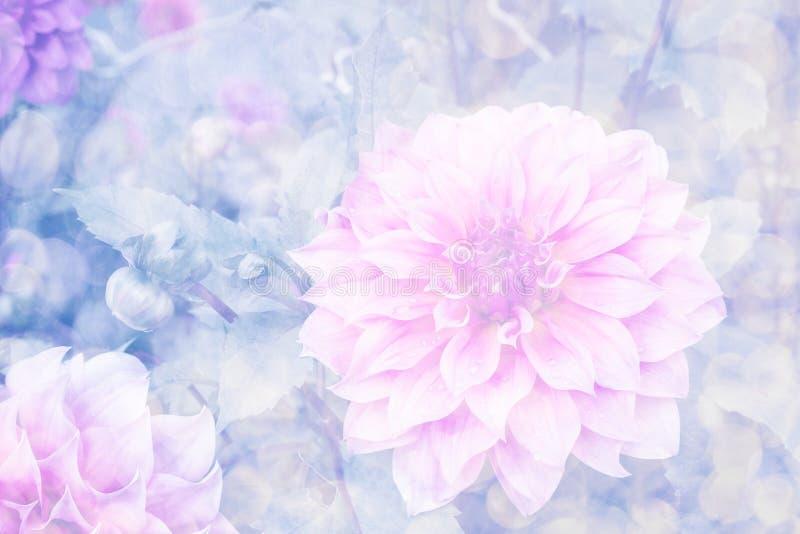 Rosa dahlia i trädgård royaltyfri foto