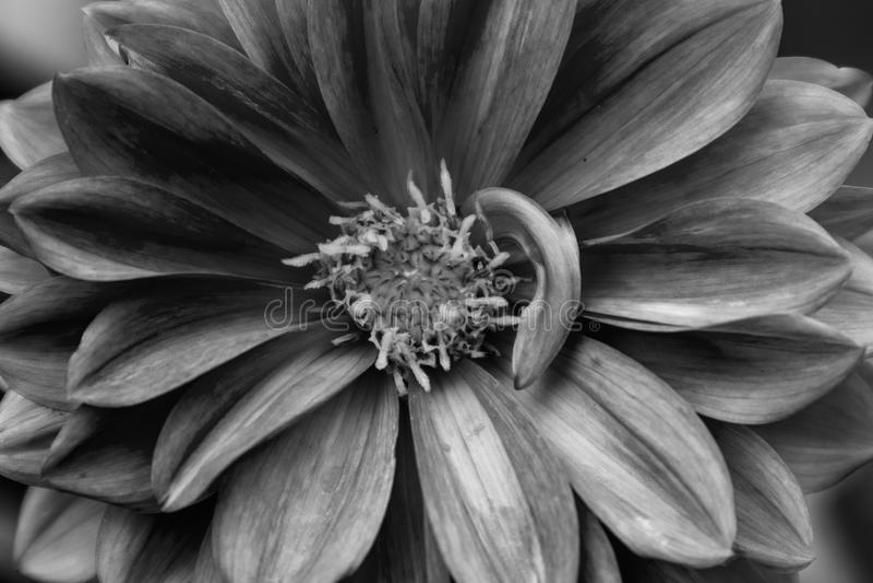 Rosa dahlia med vattenregndroppe Svartvit version arkivbilder