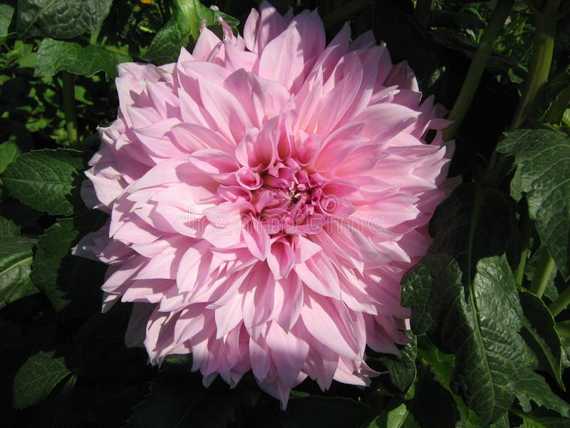 Rosa dahlior i sommarträdgård arkivbild