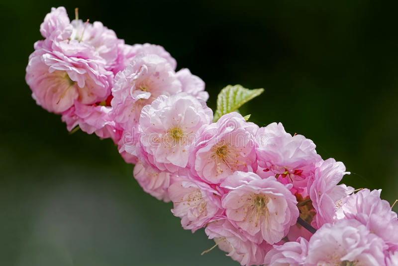 Rosa damascena i trädgården royaltyfria foton
