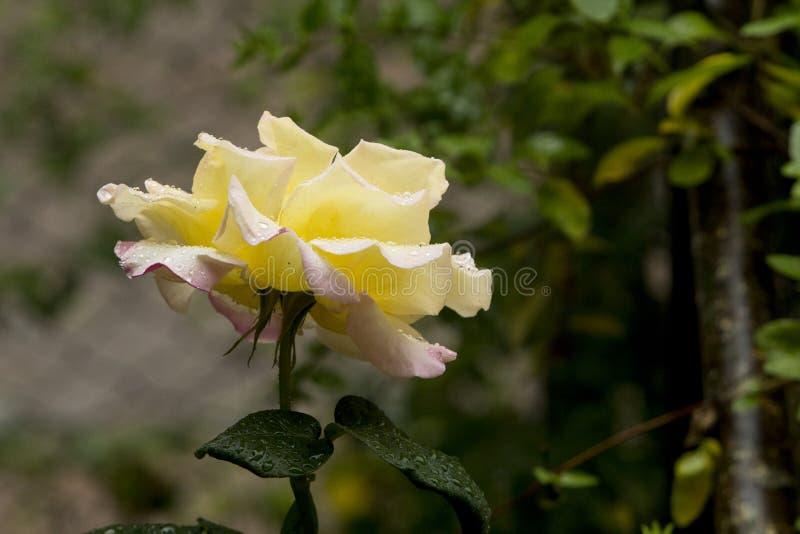 Rosa damascena med gula kronbladsidor och rosa spetsar, blöter under Istanbul regn arkivbilder