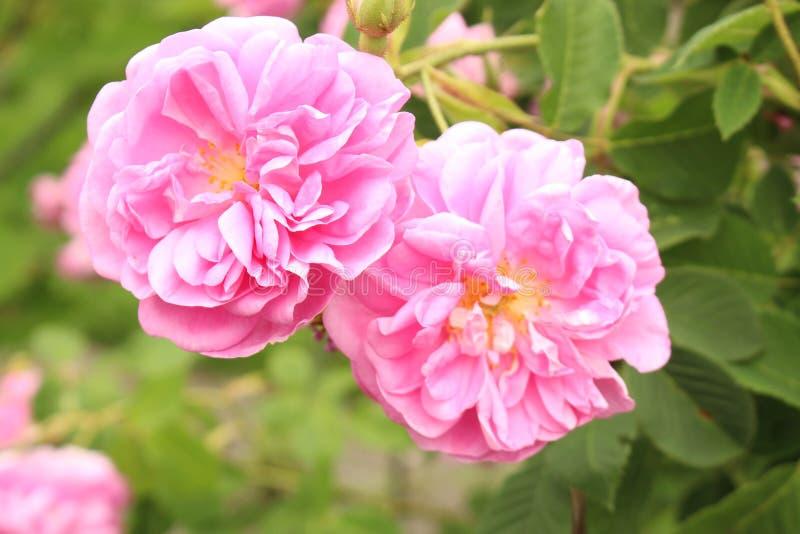 Rosa damascena - Rosa x Damascena royaltyfri foto