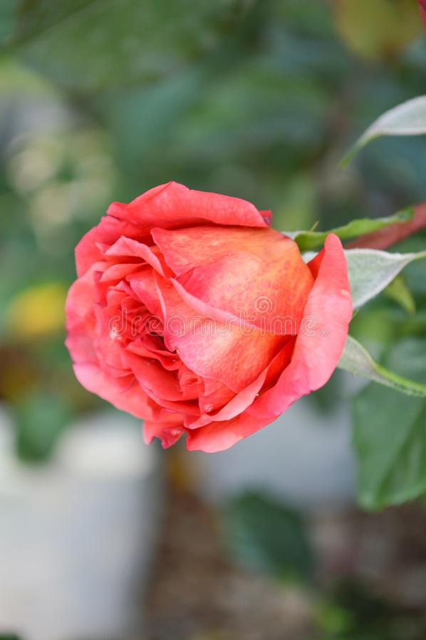 Rosa Rosa damascenablomma i naturträdgård fotografering för bildbyråer
