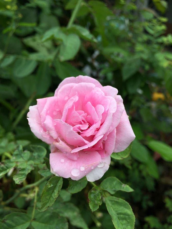 Rosa damascenablomma i naturträdgård royaltyfria foton