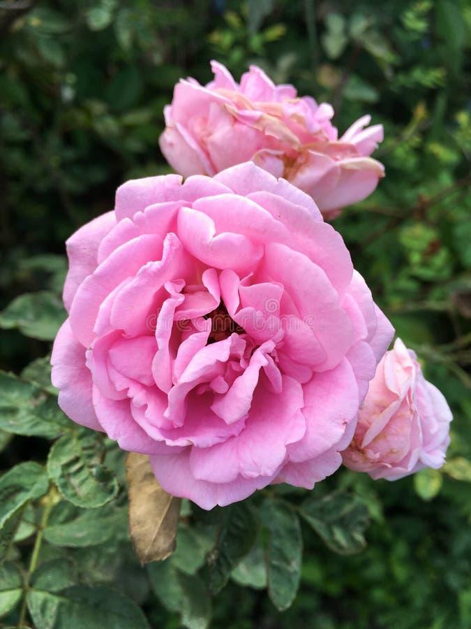 Rosa damascenablomma i naturträdgård arkivfoto