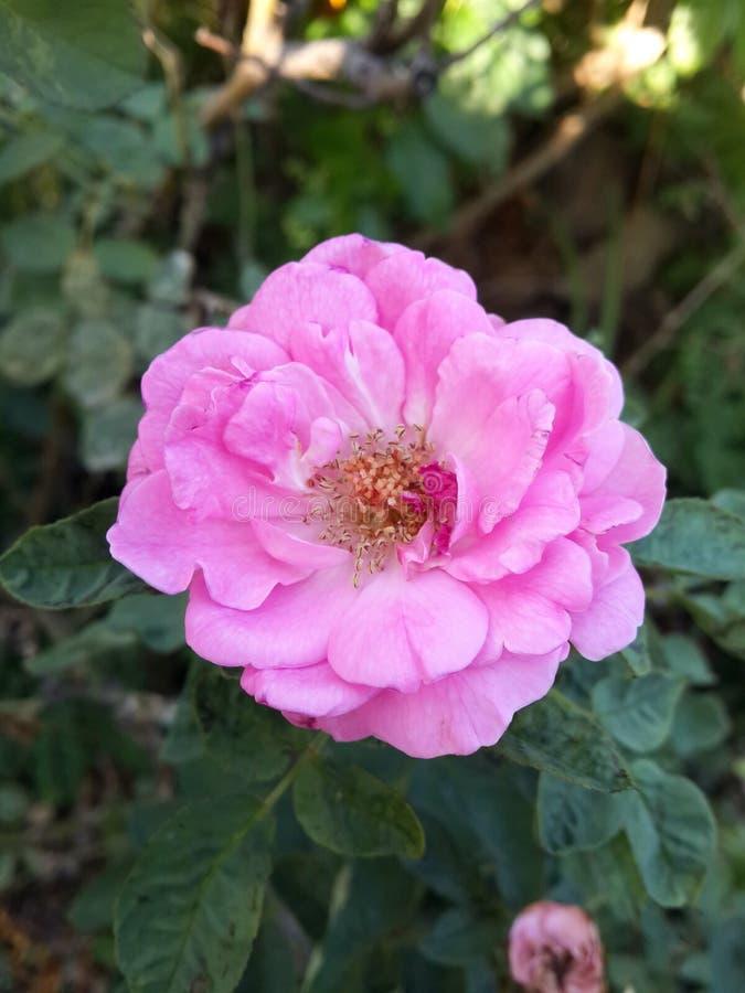 Rosa Rosa damascenablomma i tr?dg?rd royaltyfria bilder