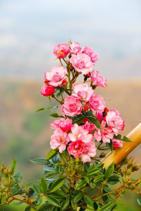 Rosa damascenakronblad för rosa te på vit bakgrund Rosa damas fotografering för bildbyråer