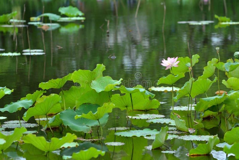 rosa damm för lotusblomma arkivfoto