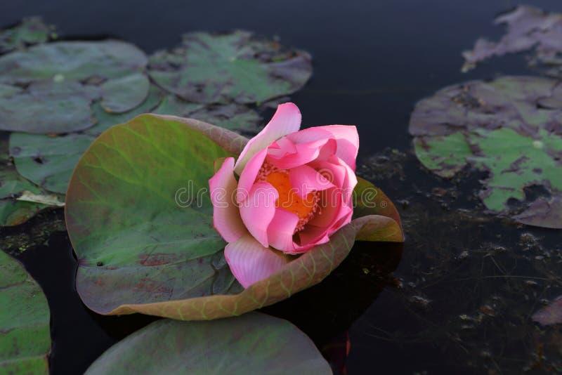 rosa damm f?r lotusblomma fotografering för bildbyråer