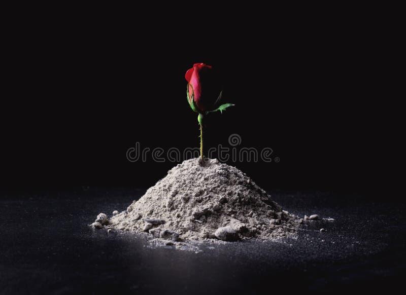 Rosa das cinzas imagens de stock royalty free