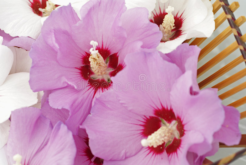 Rosa das flores de Sharon imagem de stock