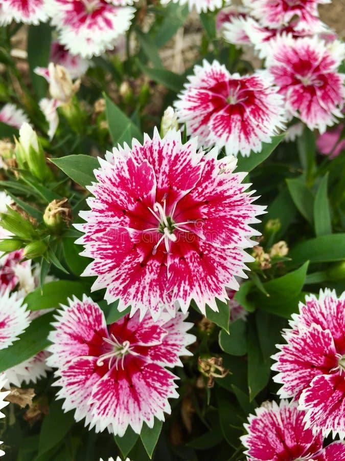 Rosa de China chinensis da flor do cravo-da-índia do rosa, rosa de arco-íris fotografia de stock