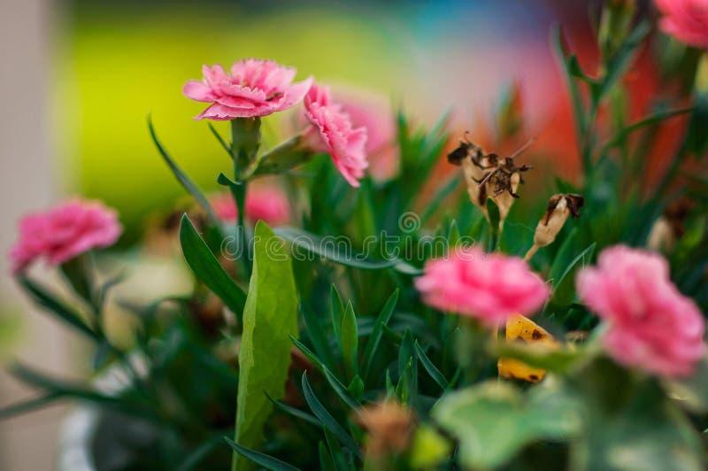 Rosa de florescência das flores bonitas em um jardim ensolarado em Finlandia imagem de stock