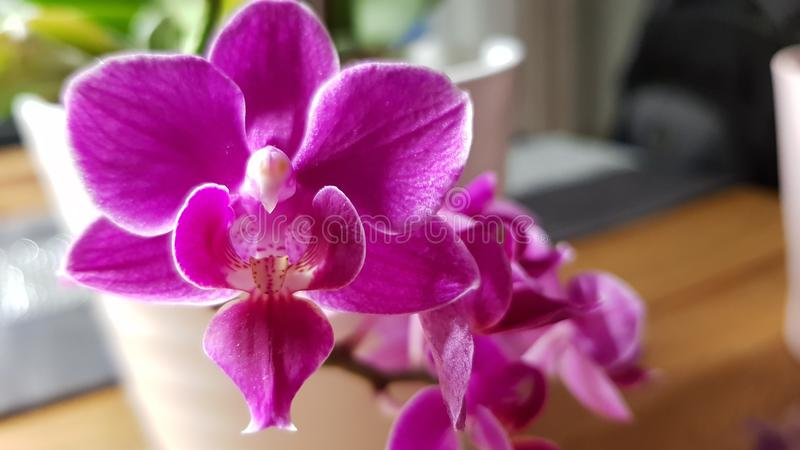 Rosa de florescência Orchidee imagens de stock