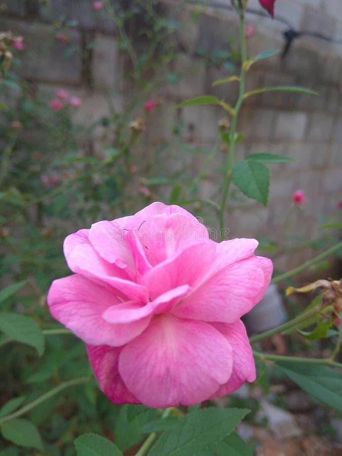 Rosa de jardín al aire libre Rose fotografía de archivo