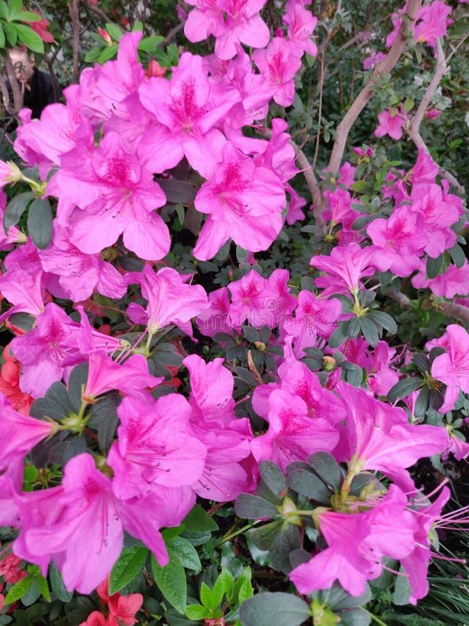 Rosa de la flor de la azalea imágenes de archivo libres de regalías