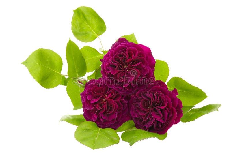 Rosa de la púrpura aislada en el fondo blanco fotos de archivo
