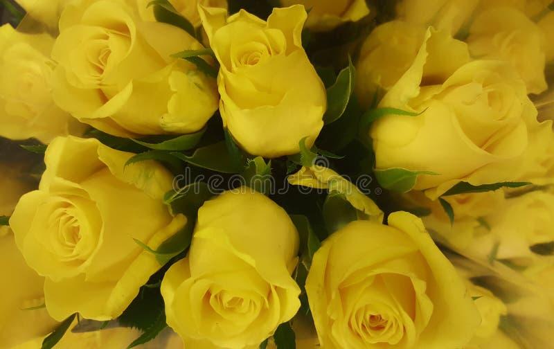 Rosa de los amarillos del bloomig de la naturaleza de las flores hermosa foto de archivo libre de regalías