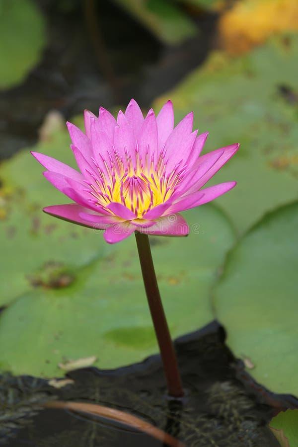Rosa de Lotus imágenes de archivo libres de regalías