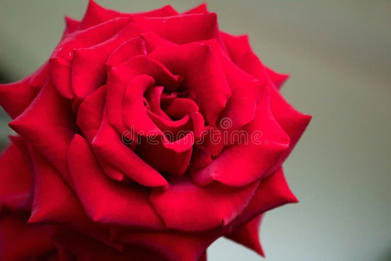 Rosa de rosas vermelhas, aproximação foto de stock royalty free