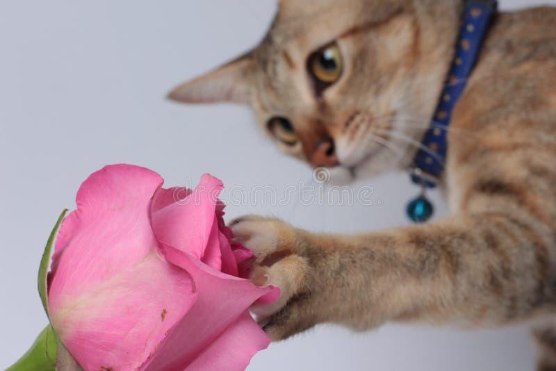 Rosa de Rose Cat Touch Flower imagen de archivo libre de regalías