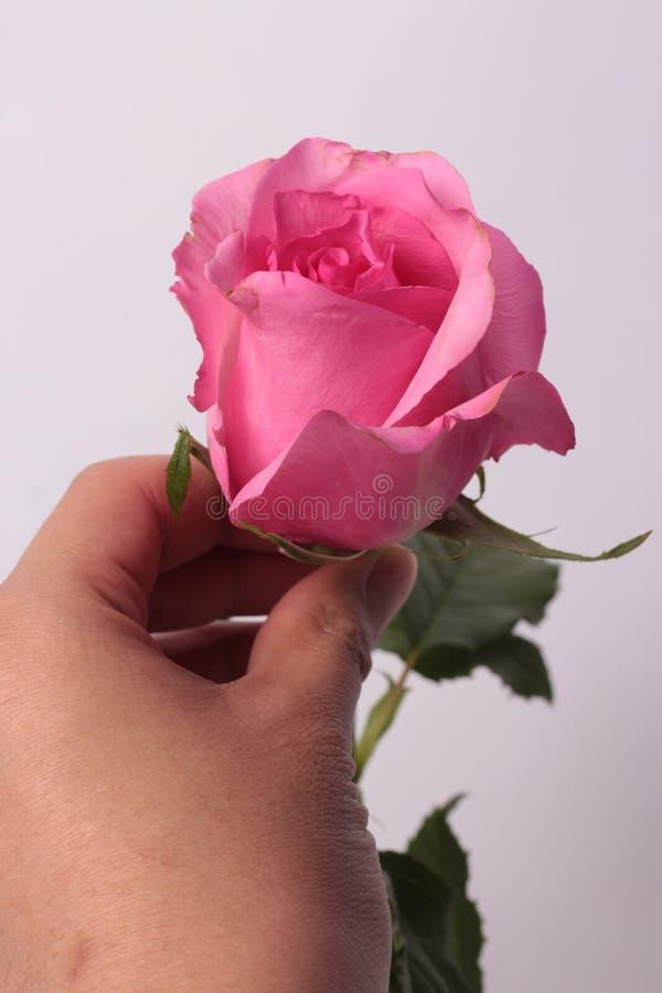 Rosa de Rose en fondo imagenes de archivo