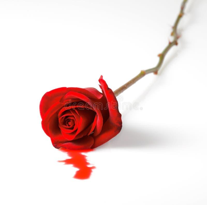 Rosa de sangramento do vermelho foto de stock royalty free