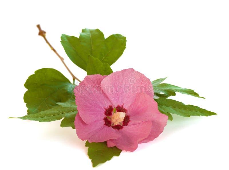 Rosa de Sharon cor-de-rosa brilhante no fundo branco imagens de stock royalty free