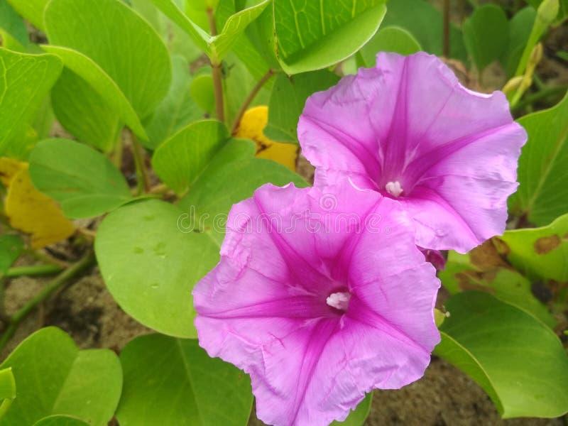 Rosa dei fiori immagine stock libera da diritti