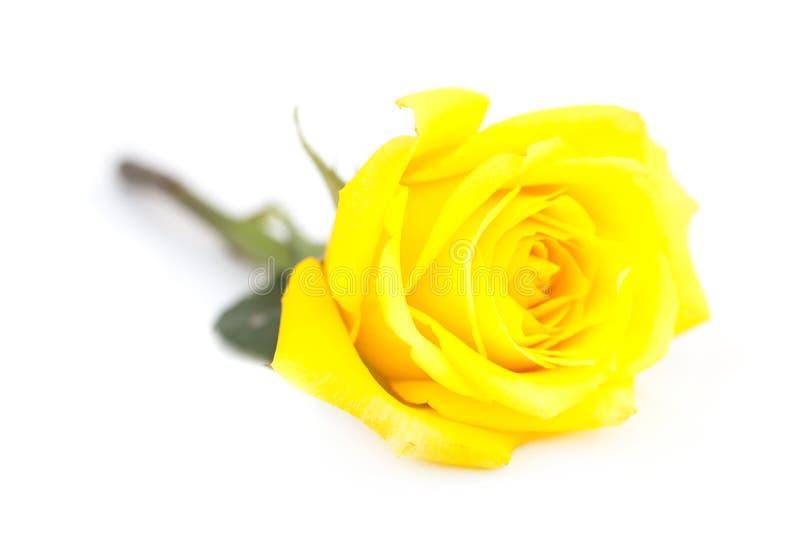 Rosa del amarillo aislada en blanco fotografía de archivo