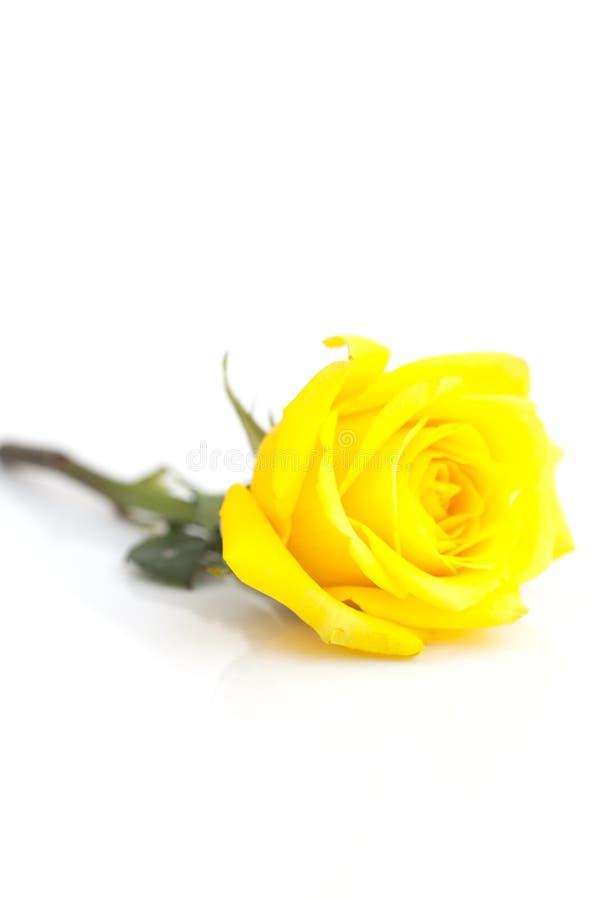 Rosa del amarillo aislada en blanco fotos de archivo
