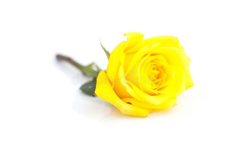 Rosa del amarillo aislada en blanco imagen de archivo