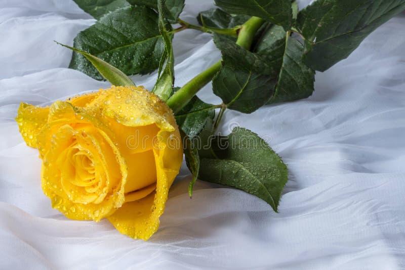 Rosa del amarillo con el fondo de la tela de los descensos del agua fotos de archivo libres de regalías