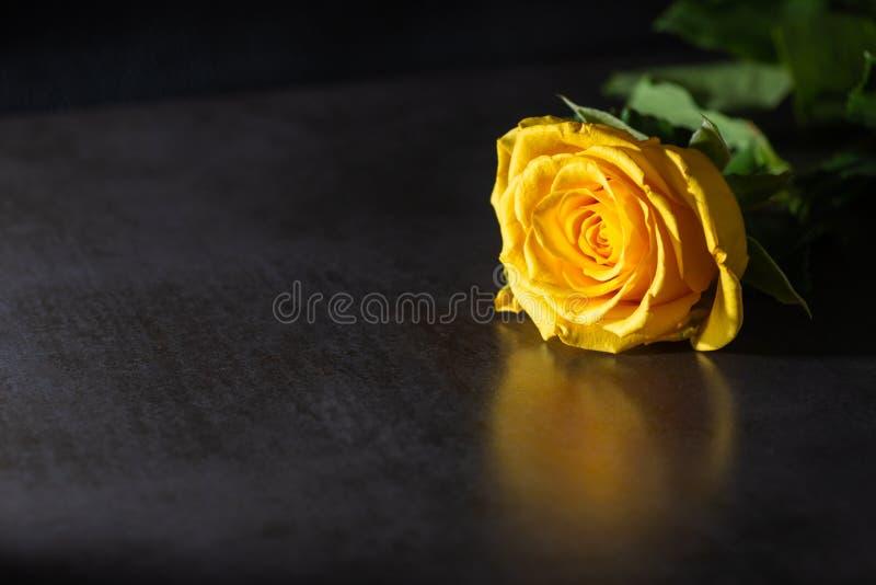 Rosa del amarillo en fondo oscuro Iluminaci?n oscura foto de archivo
