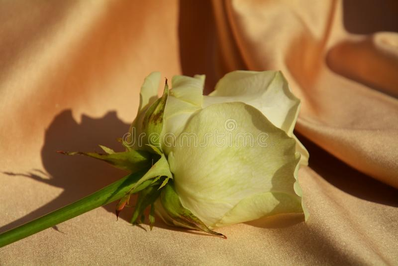 Rosa del amarillo en una tela de oro foto de archivo