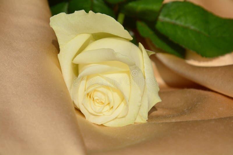 Rosa del amarillo, símbolo de los celos foto de archivo libre de regalías