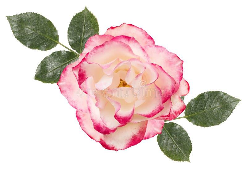 Rosa del blanco con el centro rosado, hojas, fondo blanco stock de ilustración