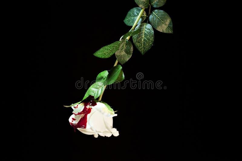Rosa del blanco cubierta con sangre fotografía de archivo libre de regalías
