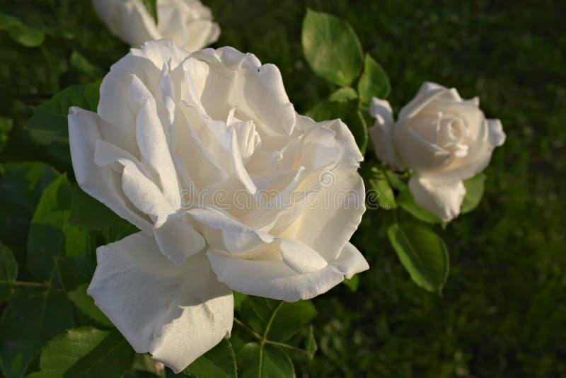 Rosa del blanco en la salida del sol imagen de archivo