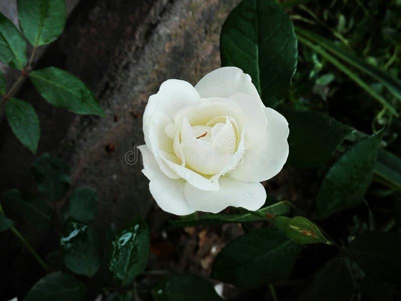 Rosa del blanco en mi jard?n fotos de archivo