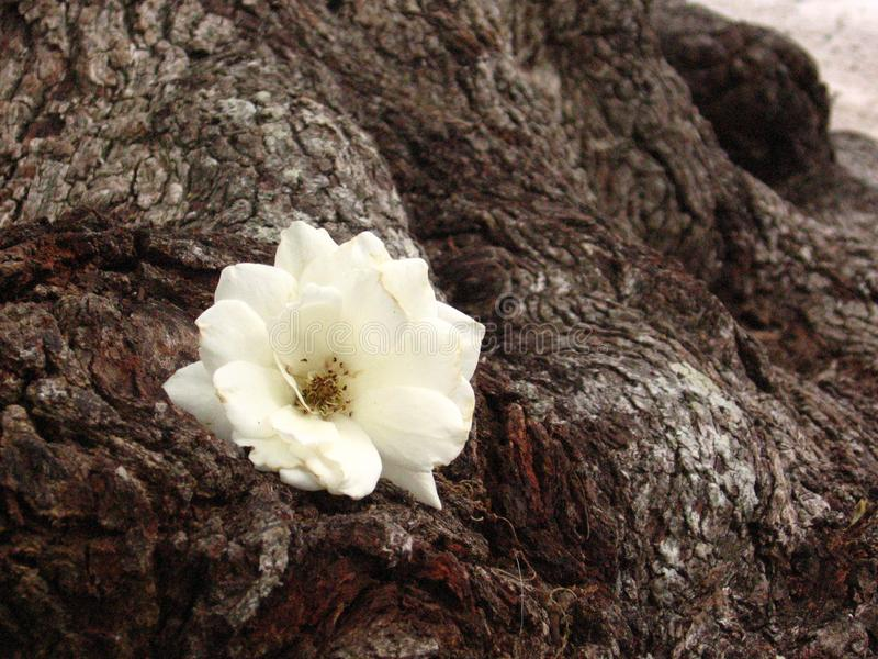 Rosa del blanco en un árbol viejo fotos de archivo