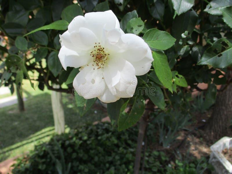 Rosa del blanco en un arbusto fotografía de archivo