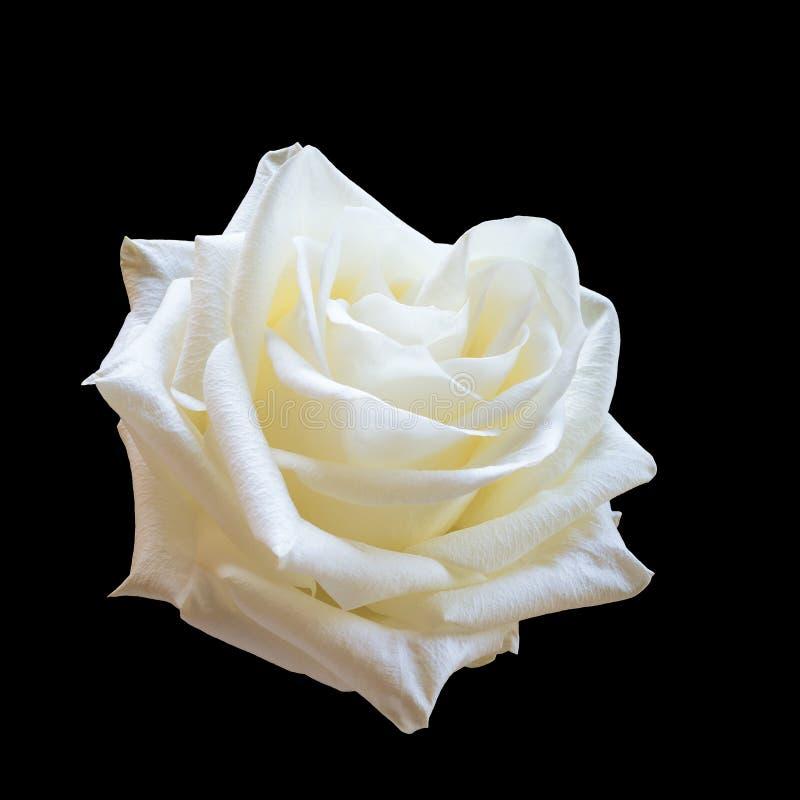 Rosa del blanco en un fondo negro imagen de archivo