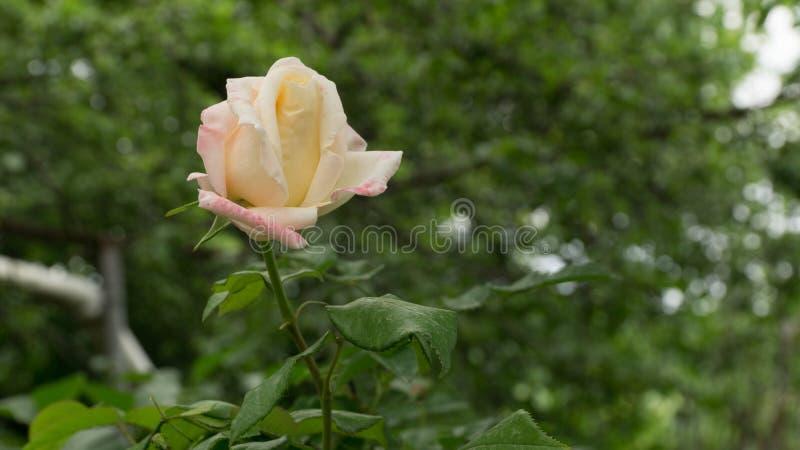 Rosa del blanco en un jardín georgiano del pueblo imagenes de archivo