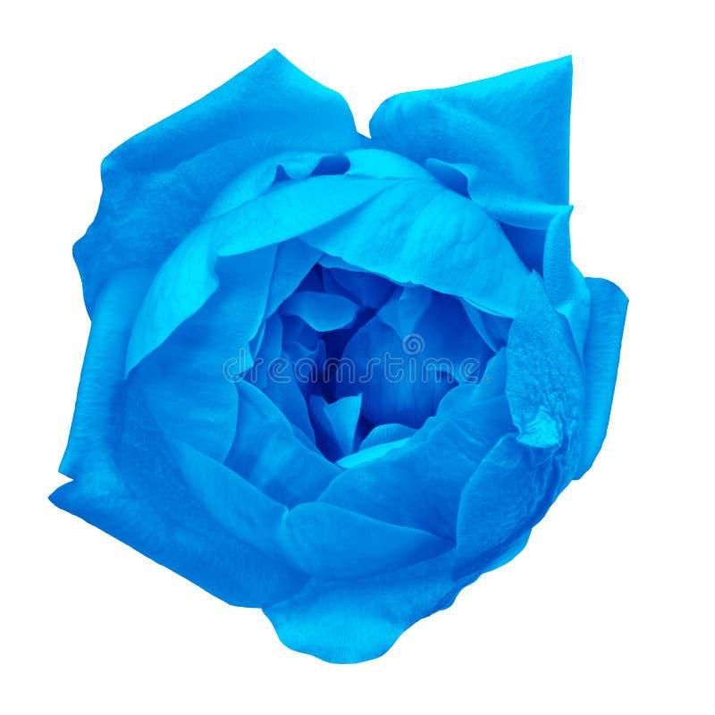 Rosa del blu del fiore isolata su fondo bianco Primo piano fotografia stock libera da diritti