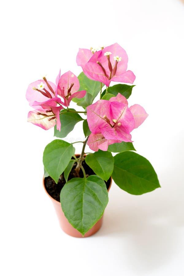 Rosa del camaleonte della buganvillea in un vaso di fiore su un fondo bianco immagini stock libere da diritti