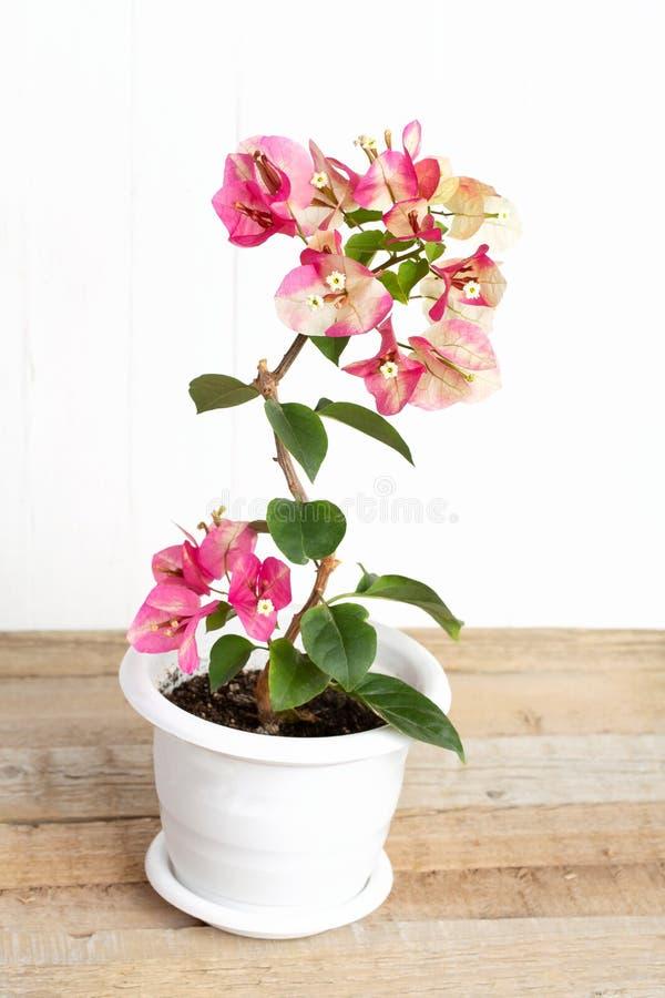 Rosa del camaleonte della buganvillea in un vaso di fiore su un fondo bianco fotografia stock libera da diritti
