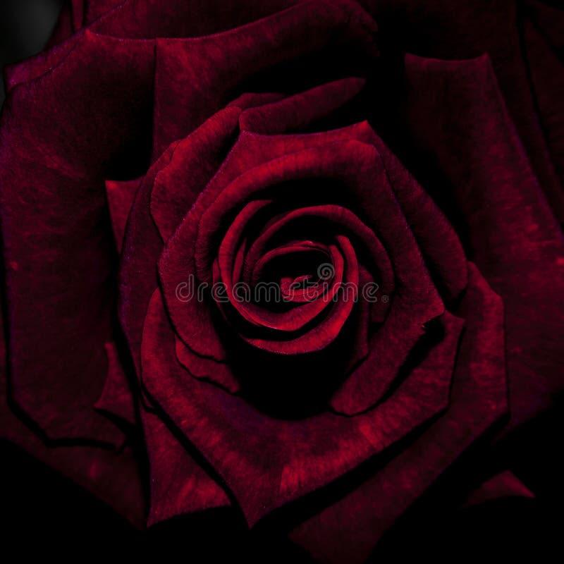 Rosa del carmesí en la plena floración foto de archivo libre de regalías